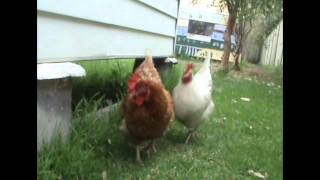 Chooks, Hens, Chickens Make Perfect Pets