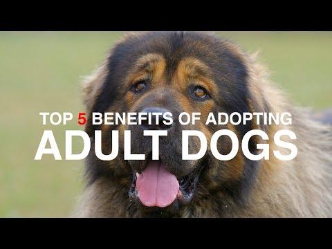 TOP 5 BENEFITS OF ADOPTING AN ADULT DOG