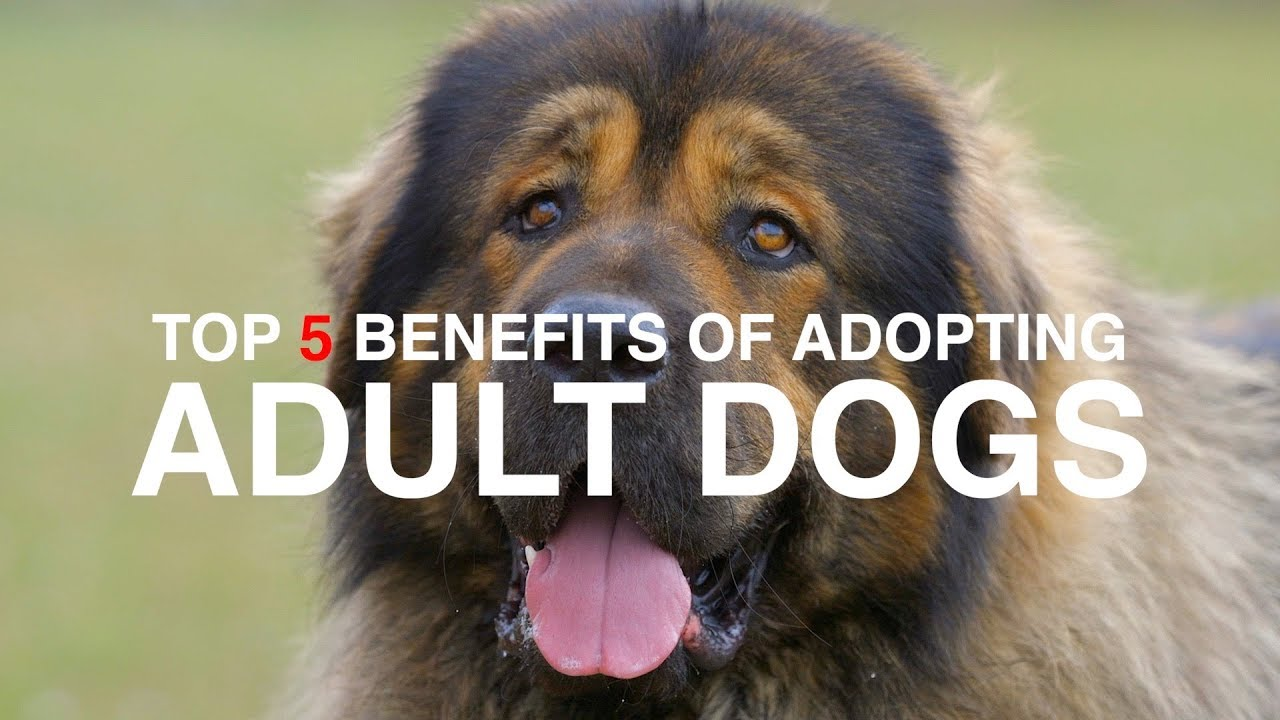 Top 5 Benefits Of Adopting An Adult Dog Youtube