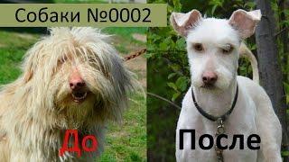 Собака в Дар Стрижка собаки делает чудеса Собаки Видео №1 Боб