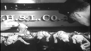 Officials Of Hook And Ladder Company Feed Dalmatian Puppies In New York, United S...hd Stock Footage