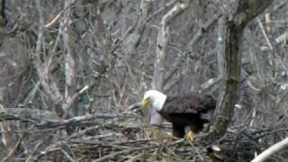 Eagle Nest Building