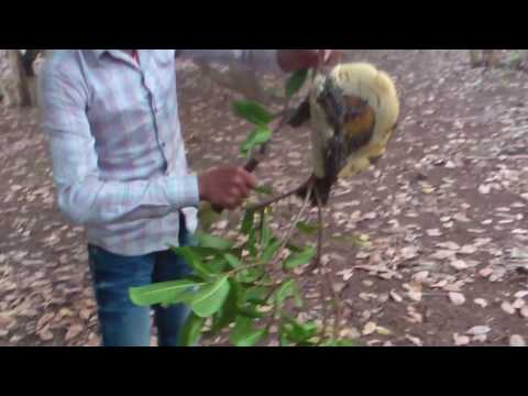 the bee harvest in cambodia | The Bee