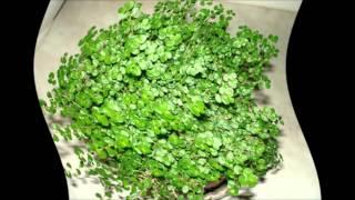 Выращивание и уход за солейролией в домашних условиях