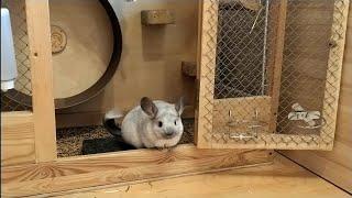 Adopcja, sklep zoologiczny, ferma - skąd wziąć Szynszyle?