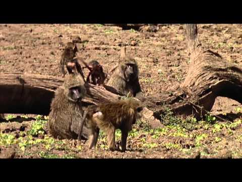 Animals Like Us : Animal Play - Wildlife Documentary