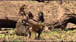 Animals Like Us : Animal Play - Wildlife Documentary thumbnail