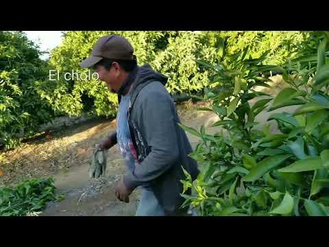 Podando naranja en parlier california