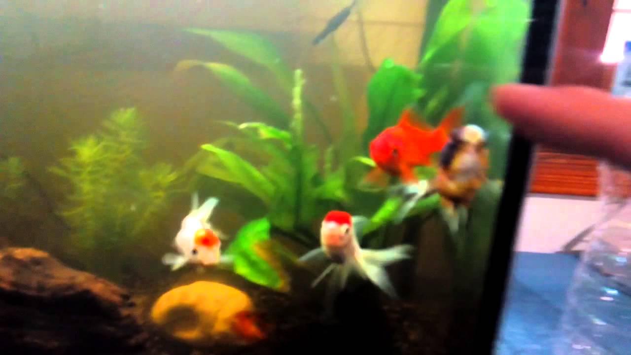 planta para goldfish acuario agua dulce youtube
