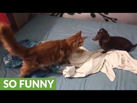 Maine Coon challenges Dachshund for king of the bed
