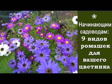 ❀ Начинающим садоводам: 9 видов ромашек для вашего цветника