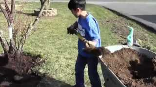 Red Japanese Maple (Acer Palmatum Atropurpureum) - How To Plant A Tree By Young Gardener Aiman