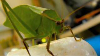 GREEN LEAF BUG KATYDID High Speed Slow Motion Slow Motion 300 fps Casio Exilim EX-F1