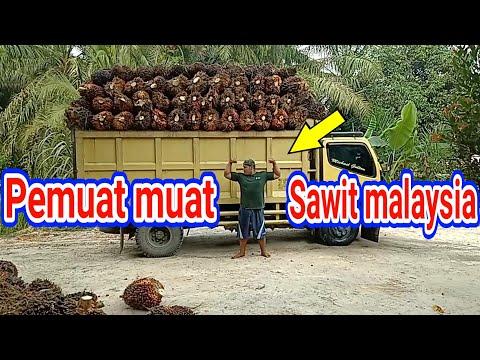 Pemuat Sawit Malaysia Sama Pemuat Sawit Indonesia Duet