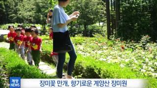 5월 5주_장미꽃 만개, 향기로운 계양산 영상 썸네일