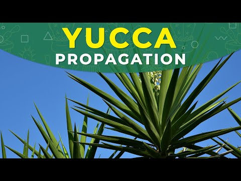 GROWING YUCCA FROM CUTTINGS | ROOTING PROCESS, PLANT REPOTTING