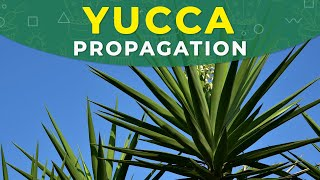 How to Propagate Yucca from Cuttings? Rooting process, Transplanting thumbnail