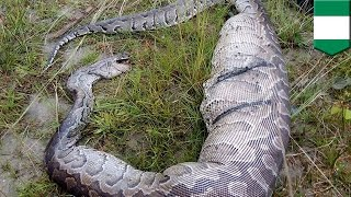 Snake eats dog: Python dies after being trapped in fence due to dog-sized stomach bulge - TomoNews