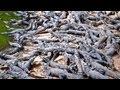 - Croc Farm Ivato: 10,000 crocodiles ready to be turned into a kebab or handbag