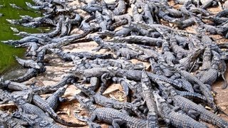 Croc Farm Ivato: 10,000 crocodiles ready to be turned into a kebab or handbag