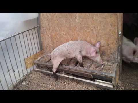 Расход корма для свиней Дополнительное видео