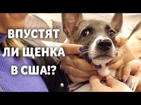 Хозяин из США за бездомным щенком в Россию. Пристроили всех 7 щенков из Мегиона.