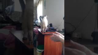 Кот Персей или просто персик