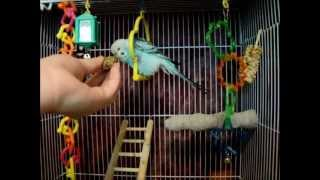 How to Care for Your New Budgie Part 2: Spray Millets