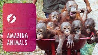 Adorable Orangutans Transported in Wheelbarrows
