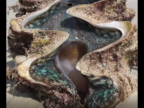 Giant Clam (Tridacna gigas) - Reef Reality