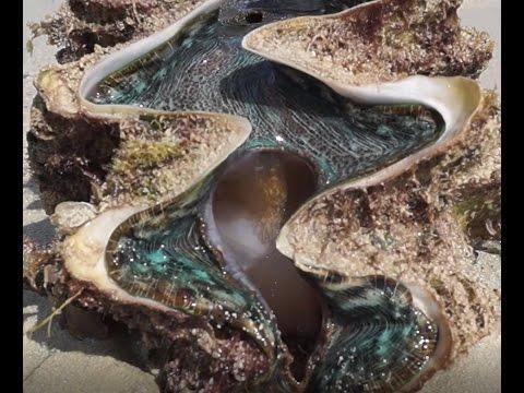 Giant Clam (Tridacna gigas) - Reef Reality