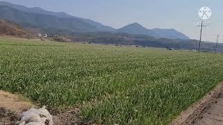 마늘밭과 황금측백나무