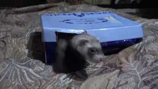 Маленькие фретки в коробке ( хорьки )