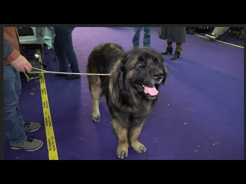 'Sully' a Leonberger at Westminster Kennel Club Dog Show 2020