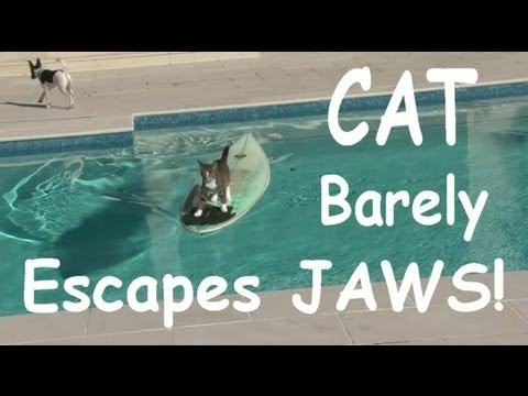 Cat Barely Escapes JAWS On surfboard