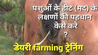 पशुओ में हीट (मद ) के लक्षणों की पहचान केसे करे। symptom of heat in cow and buffalo.