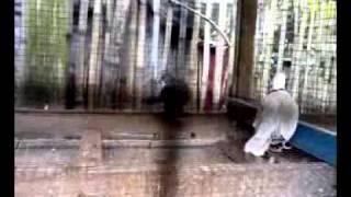 Video Pemerkosaan.mp4