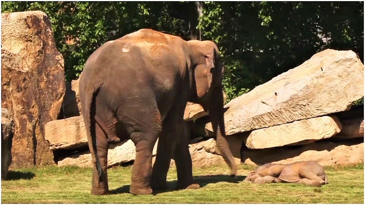 this-momma-elephant-was-frantically-trying-to-wake-up-her-baby-so-keepers-sprang-into-actionn