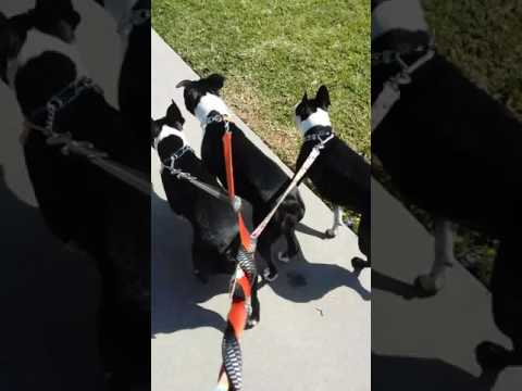 Dog walking in Costa Mesa California and talking about my safety belt