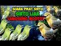 Suara Pikat Burung Sirtu Ampuh Suara Sirtu Ribut Suara Asli Alam  Mp3 - Mp4 Download