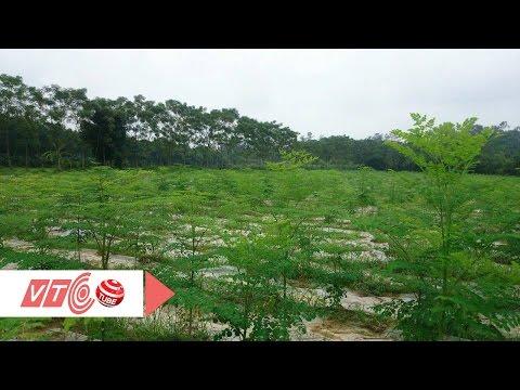 Nếm trái đắng vì ồ ạt trồng chùm ngây | VTC