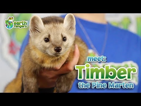 Meet Animal Ambassador Timber the Pine Marten