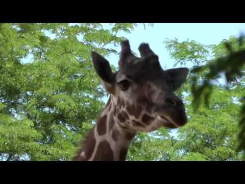 Giraffe eating at the Denver Zoo