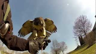 FALCONRY,Hunting Squirrels and Rabbits with my Red tail hawk