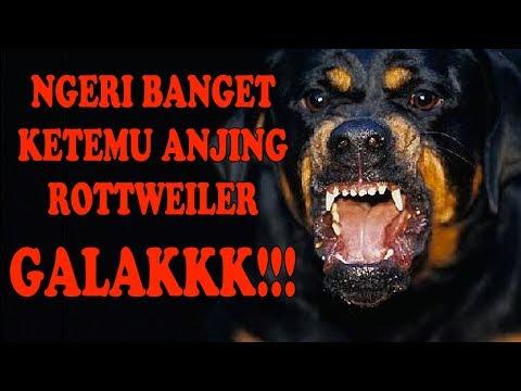 NGERI BANGET KETEMU ANJING ROTTWEILER GALAK – INI CARA KONTROLNYA !!!