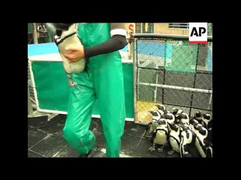 Namibian penguins head home after oil spill