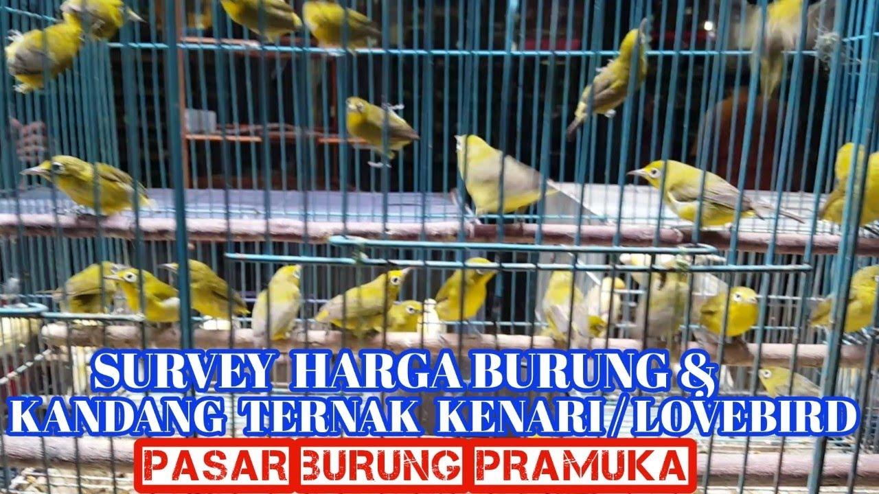 Survey Harga Burung Dan Kandang Ternak Kenari Lb Pb Pramuka Youtube