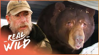 They're Huge And Hungry! The Bears Are Back In Town! | The Bear Whisperer | Real Wild Documentary