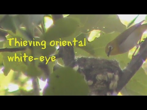 oriental white-eye exhibits kleptoparasitism, steals nesting material of black-naped monarch