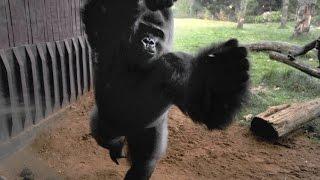 400 Pound Gorilla Breaks Enclosure Glass, Escapes